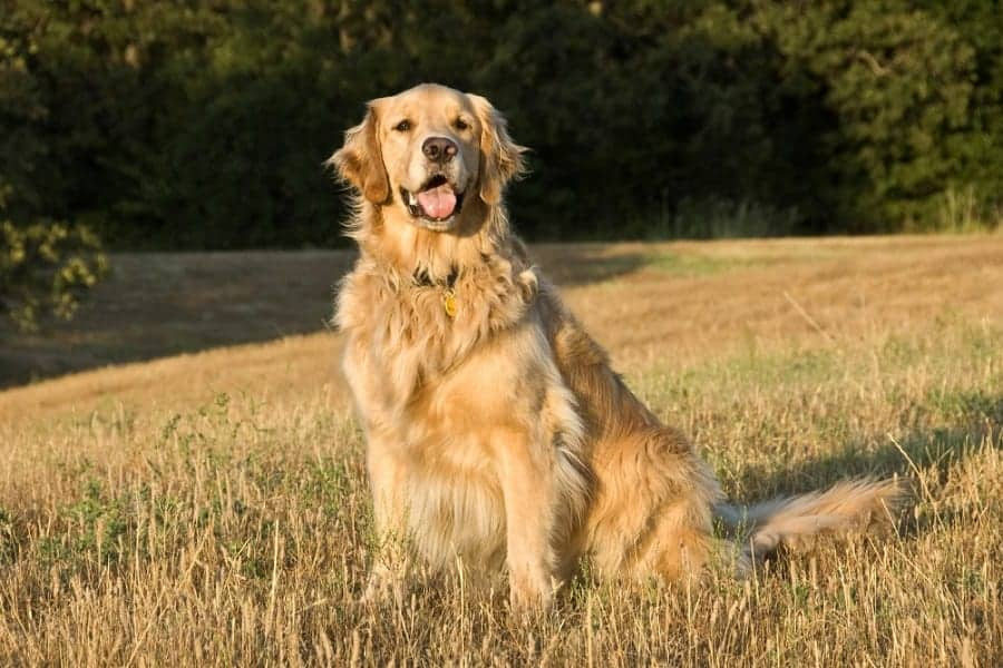 Golden Retrievers: Possibly The Best Family Pet