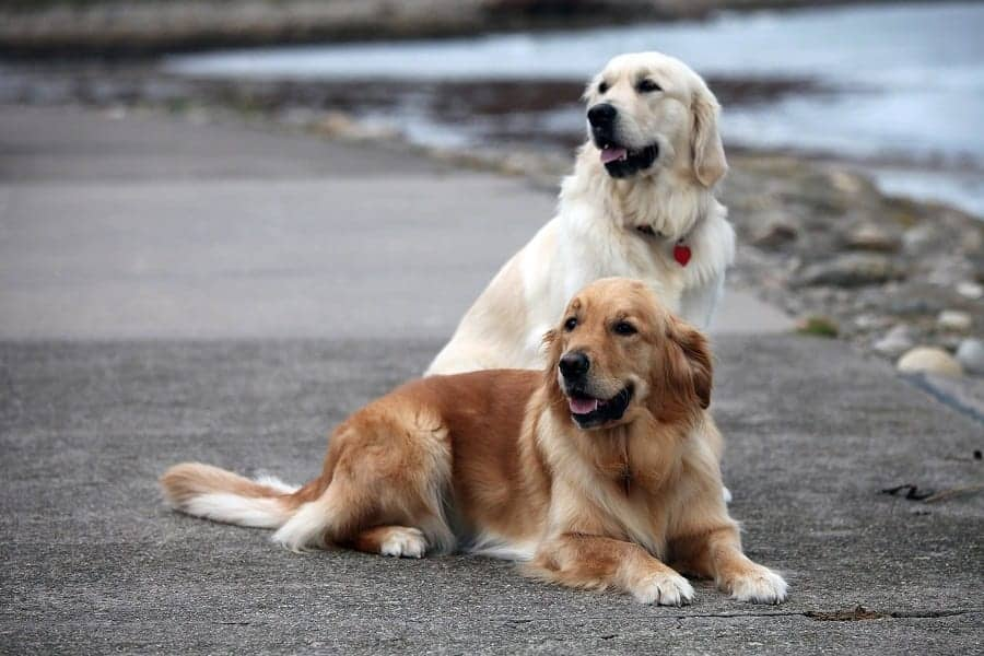 All About Retrievers: History, Origin, And Types Of Retriever Dogs